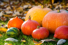 Pumpkins on the grass with leaves Royalty Free Stock Image