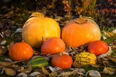 Pumpkins on the grass with leaves Stock Images