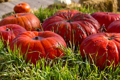 Pumpkins in the grass. Multicolored decorative pumpkins on autumn festival royalty free stock image