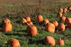 Pumpkins in the Grass at a Pumpkin Patch. Pumpkins lying in the Grass at a Pumpkin Patch Royalty Free Stock Photos