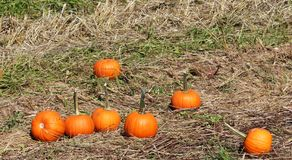 Pumpkins in the grass at pumpkin patch stock photo