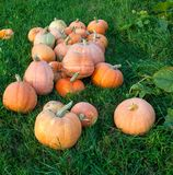 Pumpkins on the grass. Rich harvest. Agriculture and farming royalty free stock images