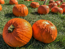 Pumpkins on a grassy field Stock Photo