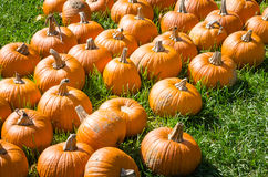 Pumpkins on a Grassy Filed on a Sunny Day Stock Photo