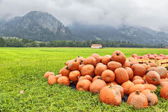 Pumpkins on a green field under a cloudy sky Royalty Free Stock Photography