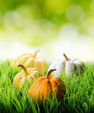 Pumpkins in green grass on natural background Stock Image