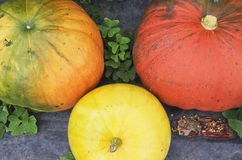 Pumpkins in a greenhouse Royalty Free Stock Photos