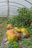 Pumpkins in a greenhouse Stock Photography