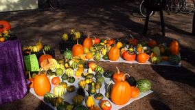 Pumpkins on the ground in autumn. Orange, yellow and green pumpkins standing in the ground at a local harvest festival in autumn royalty free stock image
