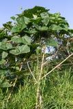 Pumpkins grow bamboo Royalty Free Stock Photos