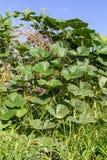 Pumpkins grow bamboo Stock Image