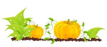 Pumpkins grow in a garden stock illustration