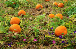 Pumpkins Growing Stock Images