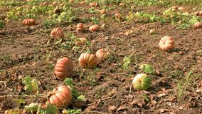 Pumpkins growing in a field in autumn. stock video