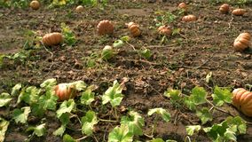 Pumpkins growing in field. Plantation of pumpkins in fall season. Concept of agribusiness stock video