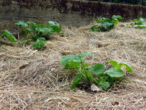 Pumpkins growing in permaculture garden Royalty Free Stock Photography