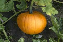 Pumpkins growth. Growing orange pumpkins ready for cutting Stock Images