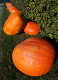 Pumpkins for Halloween. Line of pumpkins ready for Halloween Stock Photos
