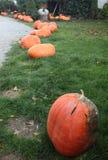Pumpkins for Halloween decorations. Garden full of pumpkins ready for Halloween Stock Image