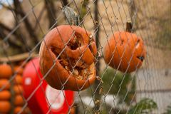 Pumpkins for Halloween malicious. Pumpkins malicious bright for Halloween toothy hang on a fence of a grid Royalty Free Stock Photo