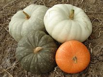 Pumpkins harvest. Some ripen pumpkins of different varieties on the ground Stock Photo