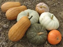Pumpkins harvest. Some ripen pumpkins of different varieties on the ground Royalty Free Stock Images