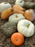 Pumpkins harvest. Some ripen pumpkins of different varieties on the ground Stock Images