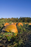 Pumpkins harvest Royalty Free Stock Image
