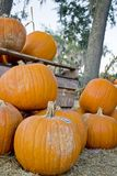 Pumpkins in a harvest patch royalty free stock photography