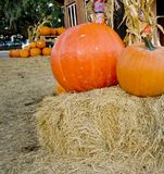 Pumpkins in a harvest patch royalty free stock images
