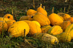 Pumpkins harvested on a field at autumn sunset Stock Photos