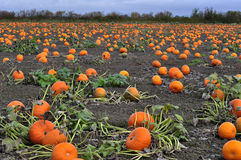 Pumpkins harvesting in the field royalty free stock photo