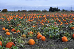 Pumpkins harvesting in the field stock photo