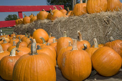 Pumpkins on hay. Lots of pumpkins sitting on top of bales of hay with fence in background Royalty Free Stock Photography