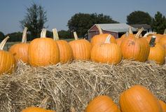 Pumpkins on hay. Lots of pumpkins sitting on top of bales of hay with barn in background along with trees Stock Image