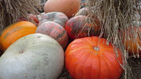 Pumpkins on the hay. Many red orange pupkins are on the hay Royalty Free Stock Photos
