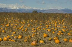 Pumpkins on the high plains Royalty Free Stock Photos