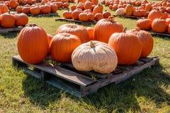 Big Orange Pumpkins on Pallets For Sale Royalty Free Stock Image