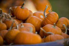 Pumpkins. Hundreds of different size and shape pumpkins are grouped together with long stalks Royalty Free Stock Image