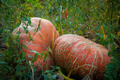 Free Pumpkins In The Field (1) Royalty Free Stock Image - 23887876
