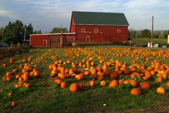 Pumpkins In The Field, Portland Oregon. Royalty Free Stock Photo