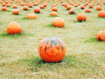 Pumpkins with Jack O Lantern face in the field for halloween. Pumpkins with Jack O Lantern face in the field for decorative halloween party holiday Royalty Free Stock Images