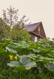 Pumpkins with large leaves growing in a garden with old house on background. Pumpkins with large leaves growing in a garden with old rural house on background stock photos