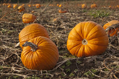 Pumpkins laying in a farm field Royalty Free Stock Images