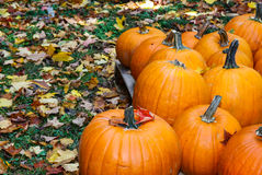Pumpkins among the leaves Royalty Free Stock Photos