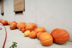 Pumpkins in a line Royalty Free Stock Images