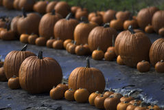 Pumpkins line the ground. Lines of pumpkins where you can walk between them to pick the one you like Stock Image