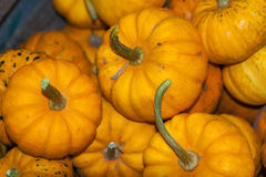 Pumpkins Lined up Stock Photo