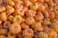 Pumpkins. Lot of bright orange colored pumpkins during the Halloween season Stock Photography