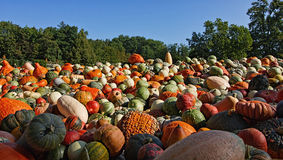 Pumpkins. Lots of pumpkins of all colors and sizes Royalty Free Stock Photo